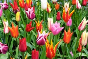 amsterdam-tulipany