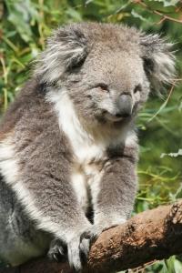 australie-koala