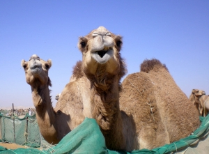 emiraty-velbloudi