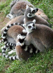 madagaskar-lemuri